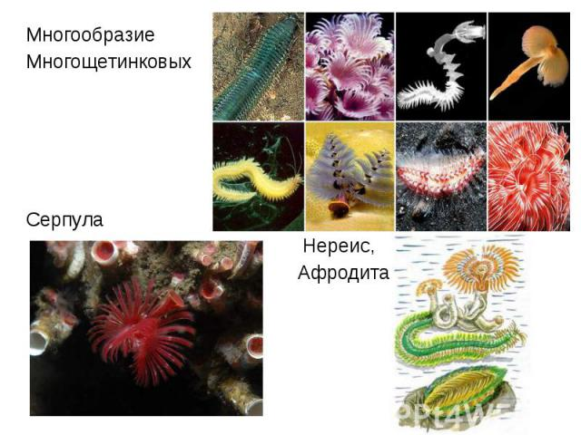 Многообразие Многообразие Многощетинковых Серпула Нереис, Афродита