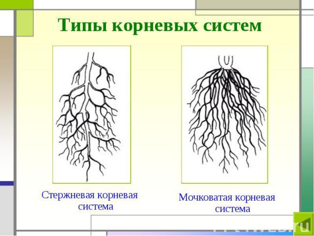 Типы корневых систем Стержневая корневая система