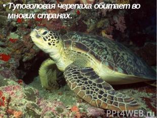 Тупоголовая черепаха обитает во многих странах. Тупоголовая черепаха обитает во