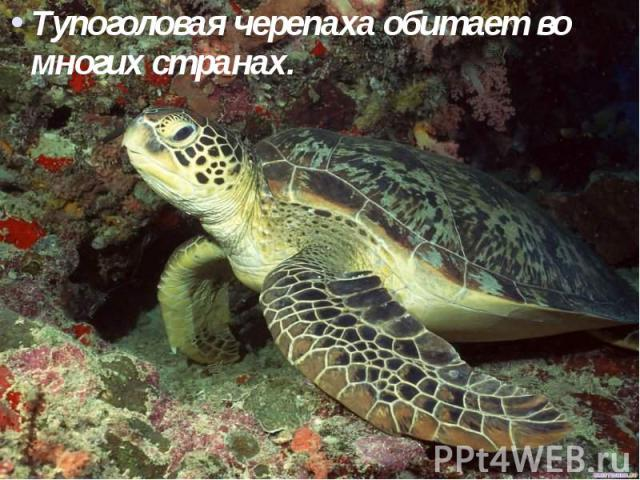 Тупоголовая черепаха обитает во многих странах. Тупоголовая черепаха обитает во многих странах.