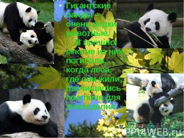 Гигантские панды – очень редкие животные. В прошлом многие из них погибали, когда леса, где они жили, расчищались под поля для земледелия. Гигантские панды – очень редкие животные. В прошлом многие из них погибали, когда леса, где они жили, расчищал…