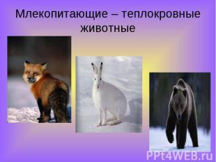 Млекопитающие – теплокровные животные