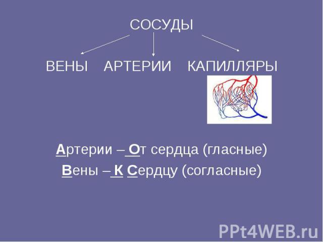 СОСУДЫ ВЕНЫ АРТЕРИИ КАПИЛЛЯРЫ Артерии – От сердца (гласные) Вены – К Сердцу (согласные)