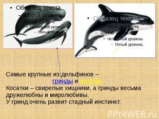 Самые крупные из дельфинов – гринды и косатки Косатки – свирепые хищники, а грин