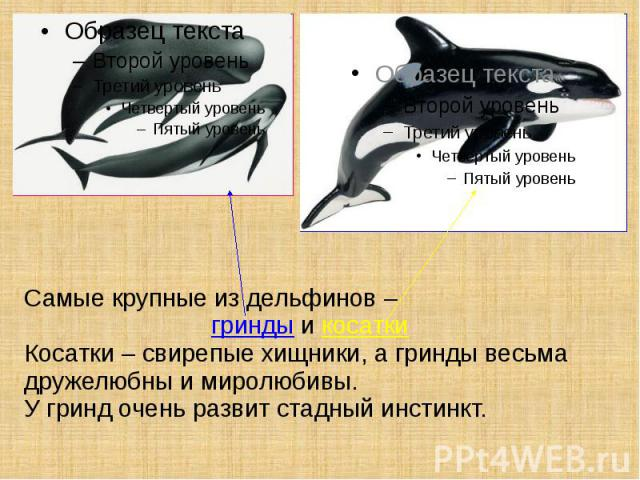 Самые крупные из дельфинов – гринды и косатки Косатки – свирепые хищники, а гринды весьма дружелюбны и миролюбивы. У гринд очень развит стадный инстинкт.