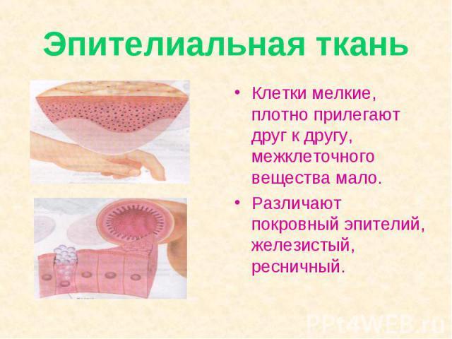 Эпителиальная ткань Клетки мелкие, плотно прилегают друг к другу, межклеточного вещества мало. Различают покровный эпителий, железистый, ресничный.