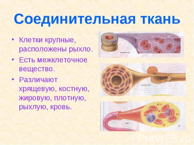 Соединительная ткань Клетки крупные, расположены рыхло. Есть межклеточное вещество. Различают хрящевую, костную, жировую, плотную, рыхлую, кровь.
