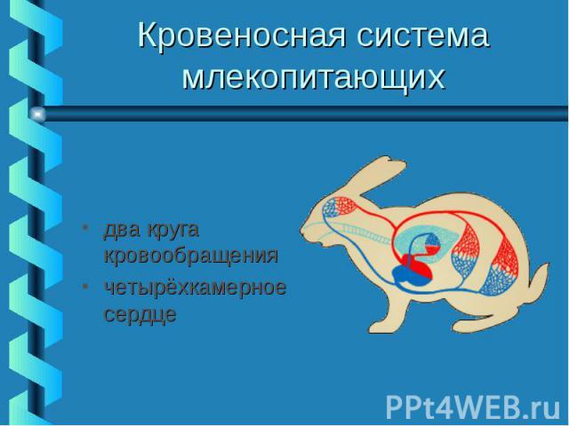 Кровеносная система млекопитающих два круга кровообращения четырёхкамерное сердце