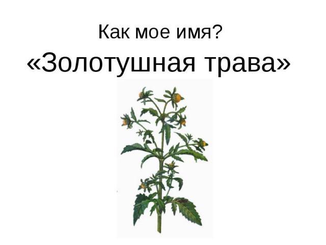Как мое имя? «Золотушная трава»
