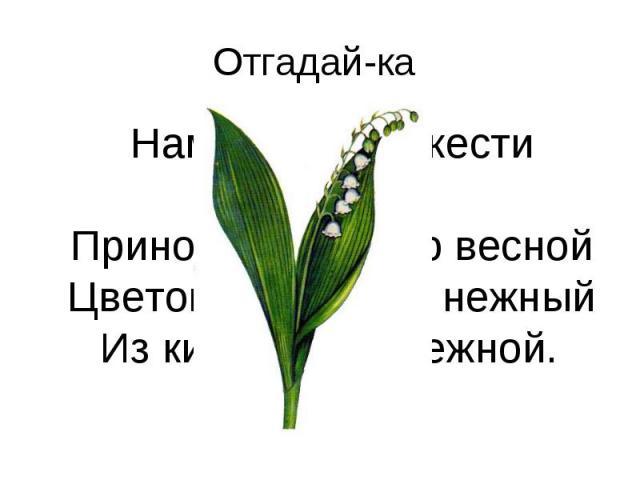 Отгадай-ка Нам запах свежести лесной Приносит позднею весной Цветок душистый, нежный Из кисти белоснежной.