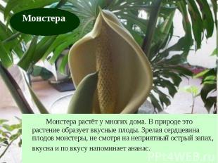 Монстера растёт у многих дома. В природе это растение образует вкусные плоды. Зр