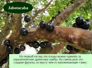 На первый взгляд эти плоды можно принять за паразитические древесные грибы. На с