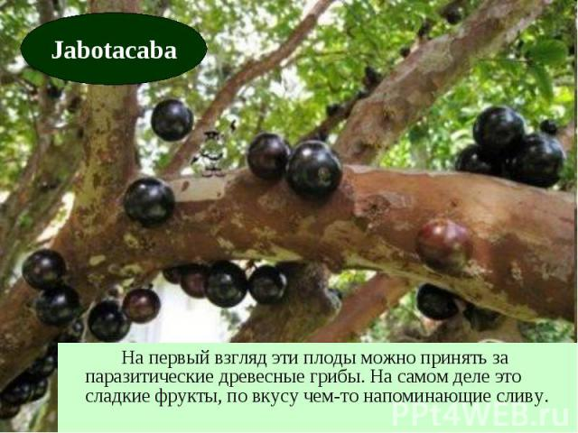На первый взгляд эти плоды можно принять за паразитические древесные грибы. На самом деле это сладкие фрукты, по вкусу чем-то напоминающие сливу.