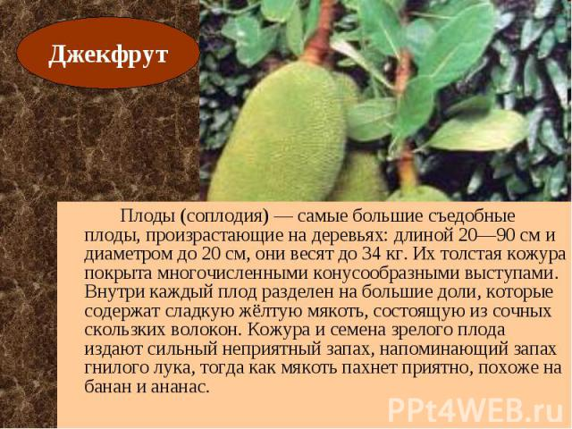 Плоды (соплодия) — самые большие съедобные плоды, произрастающие на деревьях: длиной 20—90 см и диаметром до 20 см, они весят до 34 кг. Их толстая кожура покрыта многочисленными конусообразными выступами. Внутри каждый плод разделен на большие доли,…