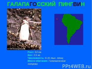 ГАЛАПАГОССКИЙ ПИНГВИН Рост: 53 см. Вес: 2,5 кг. Численность: 6-15 тыс. птиц Мест