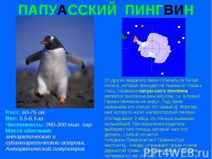 ПАПУАССКИЙ ПИНГВИН Рост: 60-75 см. Вес: 5,5-6,5 кг. Численность: 260-300 тыс. па