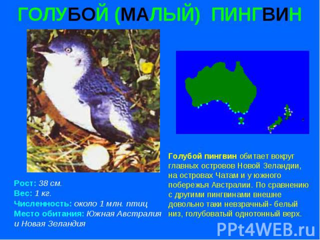 ГОЛУБОЙ (МАЛЫЙ) ПИНГВИН Рост: 38 см. Вес: 1 кг. Численность: около 1 млн. птиц Место обитания: Южная Австралия и Новая Зеландия