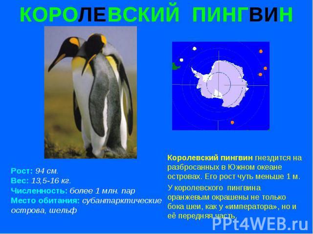КОРОЛЕВСКИЙ ПИНГВИН Рост: 94 см. Вес: 13,5-16 кг. Численность: более 1 млн. пар Место обитания: субантарктические острова, шельф