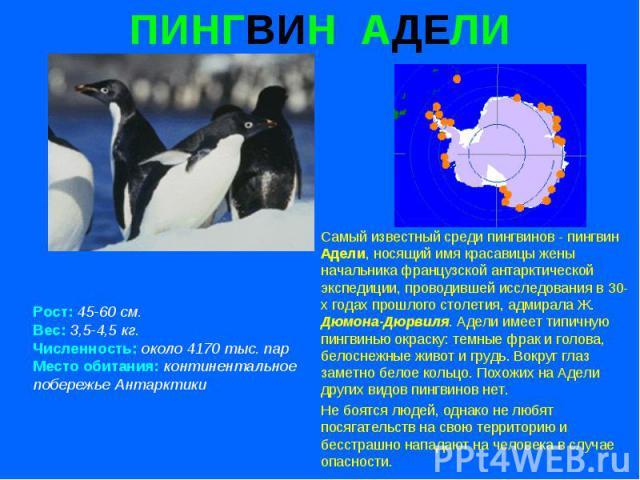 ПИНГВИН АДЕЛИ Рост: 45-60 см. Вес: 3,5-4,5 кг. Численность: около 4170 тыс. пар Место обитания: континентальное побережье Антарктики