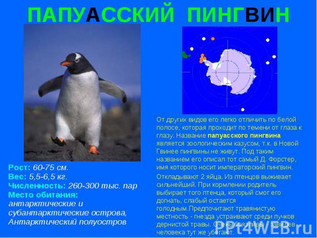 ПАПУАССКИЙ ПИНГВИН Рост: 60-75 см. Вес: 5,5-6,5 кг. Численность: 260-300 тыс. пар Место обитания: антарктические и субантарктические острова, Антарктический полуостров