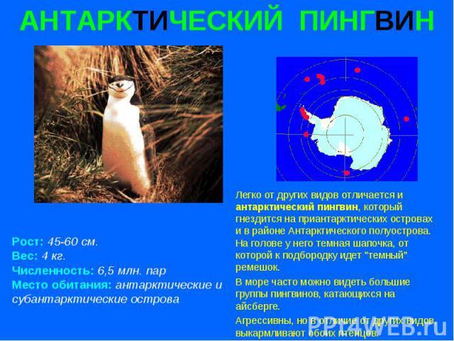 АНТАРКТИЧЕСКИЙ ПИНГВИН Рост: 45-60 см. Вес: 4 кг. Численность: 6,5 млн. пар Место обитания: антарктические и субантарктические острова