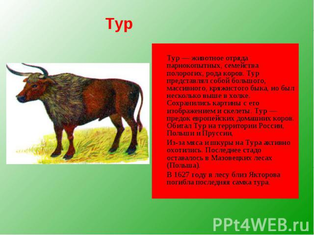 Тур — животное отряда парнокопытных, семейства полорогих, рода коров. Тур представлял собой большого, массивного, кряжистого быка, но был несколько выше в холке. Сохранились картины с его изображением и скелеты. Тур — предок европейских домашних кор…