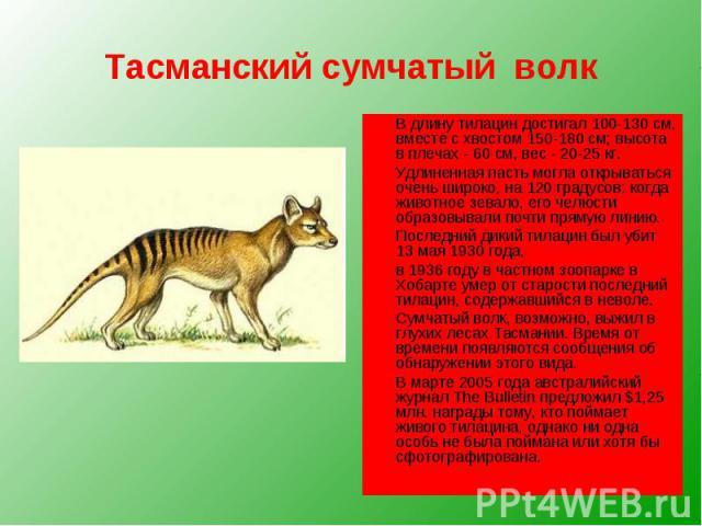 Тасманский сумчатый волк В длину тилацин достигал 100-130 см, вместе с хвостом 150-180 см; высота в плечах - 60 см, вес - 20-25 кг. Удлиненная пасть могла открываться очень широко, на 120 градусов: когда животное зевало, его челюсти образовывали поч…