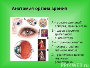 Анатомия органа зрения А – вспомогательный аппарат, мышцы глаза Б – схема строен