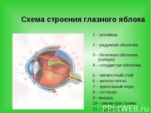 Схема строения глазного яблока 1 – роговица 2 – радужная оболочка 3 – белочная о