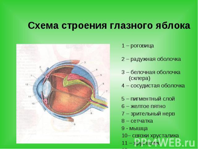 Схема строения глазного яблока 1 – роговица 2 – радужная оболочка 3 – белочная оболочка (склера) 4 – сосудистая оболочка 5 – пигментный слой 6 – желтое пятно 7 – зрительный нерв 8 – сетчатка 9 - мышца 10– связки хрусталика 11 – хрусталик 12 – зрачок
