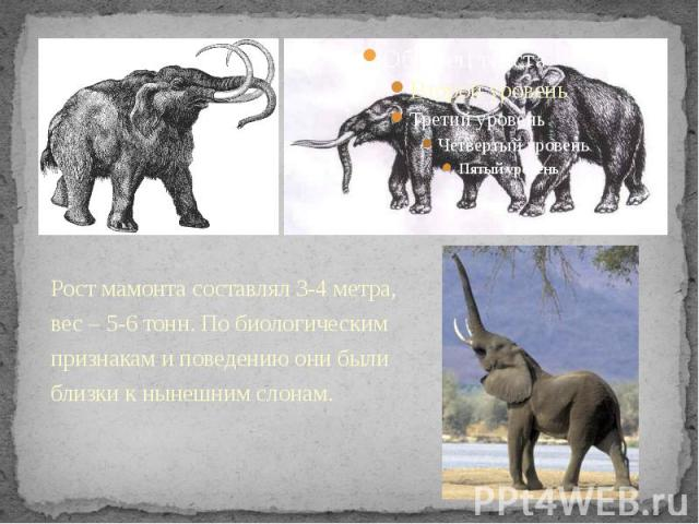 Рост мамонта составлял 3-4 метра, вес – 5-6 тонн. По биологическим признакам и поведению они были близки к нынешним слонам. Рост мамонта составлял 3-4 метра, вес – 5-6 тонн. По биологическим признакам и поведению они были близки к нынешним слонам.
