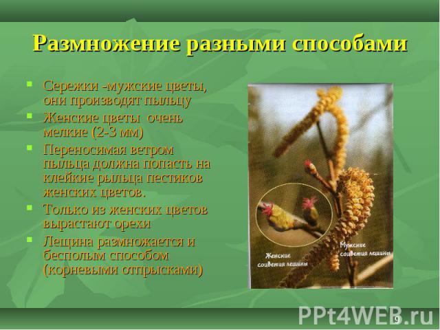 Сережки -мужские цветы, они производят пыльцу Сережки -мужские цветы, они производят пыльцу Женские цветы очень мелкие (2-3 мм) Переносимая ветром пыльца должна попасть на клейкие рыльца пестиков женских цветов. Только из женских цветов вырастают ор…