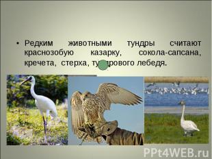 Редким животными тундры считают краснозобую казарку, сокола-сапсана, кречета, ст