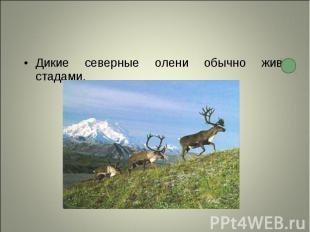 Дикие северные олени обычно живут стадами. Дикие северные олени обычно живут ста