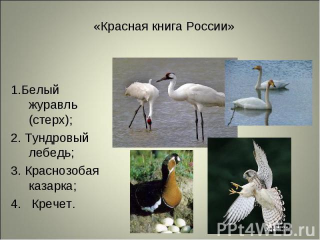 1.Белый журавль (стерх); 1.Белый журавль (стерх); 2. Тундровый лебедь; 3. Краснозобая казарка; 4. Кречет.