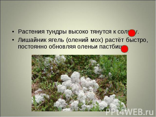 Растения тундры высоко тянутся к солнцу. Растения тундры высоко тянутся к солнцу. Лишайник ягель (олений мох) растёт быстро, постоянно обновляя оленьи пастбища.