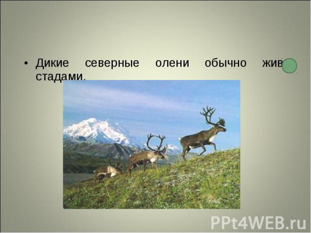 Дикие северные олени обычно живут стадами. Дикие северные олени обычно живут стадами.