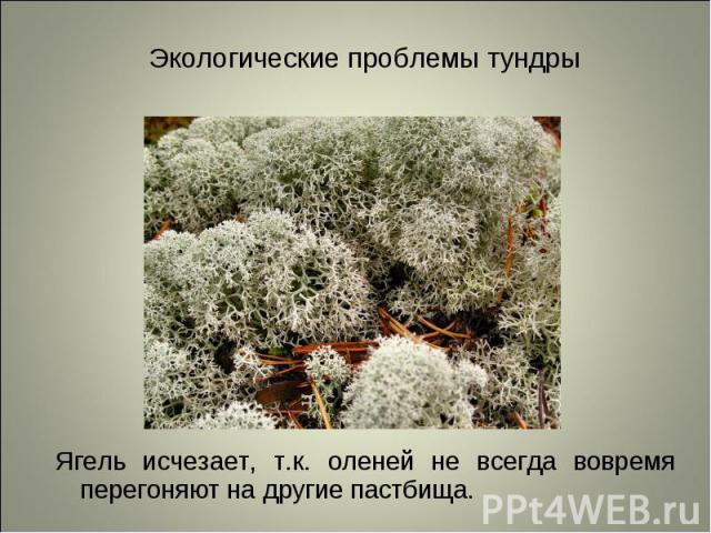 Ягель исчезает, т.к. оленей не всегда вовремя перегоняют на другие пастбища. Ягель исчезает, т.к. оленей не всегда вовремя перегоняют на другие пастбища.