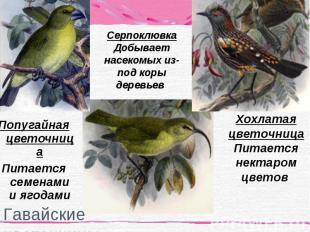 Попугайная цветочница Попугайная цветочница Питается семенами и ягодами