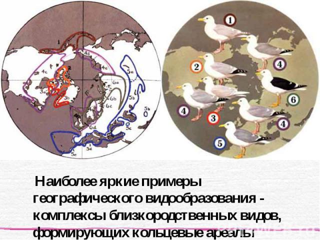 Наиболее яркие примеры географического видообразования - комплексы близкородственных видов, формирующих кольцевые ареалы Наиболее яркие примеры географического видообразования - комплексы близкородственных видов, формирующих кольцевые ареалы