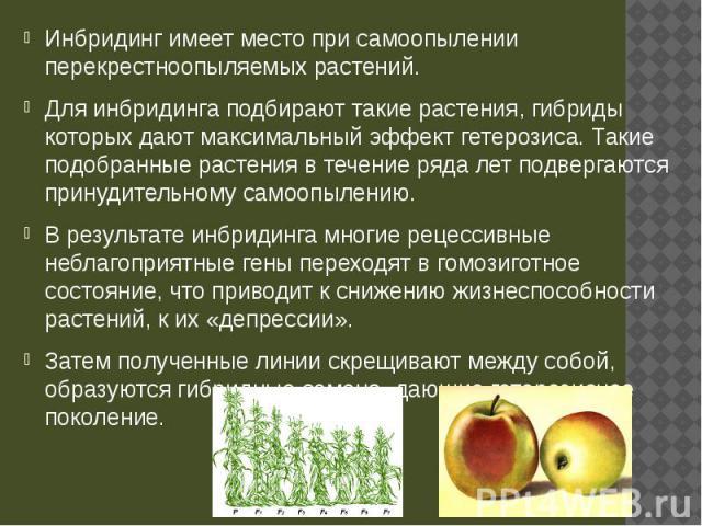 Инбридинг имеет место при самоопылении перекрестноопыляемых растений. Инбридинг имеет место при самоопылении перекрестноопыляемых растений. Для инбридинга подбирают такие растения, гибриды которых дают максимальный эффект гетерозиса. Такие подобранн…