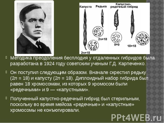 Методика преодоления бесплодия у отдаленных гибридов была разработана в 1924 году советским ученым Г.Д. Карпеченко. Методика преодоления бесплодия у отдаленных гибридов была разработана в 1924 году советским ученым Г.Д. Карпеченко. Он поступил следу…