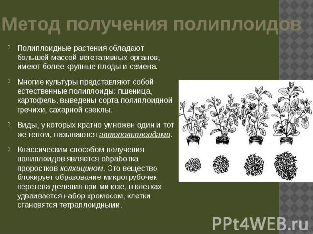 Метод получения полиплоидов Полиплоидные растения обладают большей массой вегетативных органов, имеют более крупные плоды и семена. Многие культуры представляют собой естественные полиплоиды: пшеница, картофель, выведены сорта полиплоидной гречихи, …