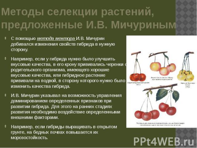 Методы селекции растений, предложенные И.В. Мичуриным С помощью метода ментора И.В. Мичурин добивался изменения свойств гибрида в нужную сторону. Например, если у гибрида нужно было улучшить вкусовые качества, в его крону прививались черенки с родит…