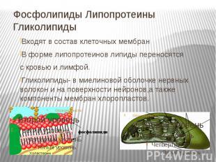 Фосфолипиды Липопротеины Гликолипиды Входят в состав клеточных мембран В форме л