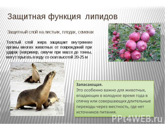 Защитная функция липидов Защитный слой на листьях, плодах, семенах