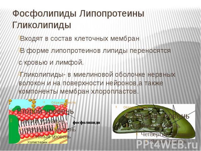Фосфолипиды Липопротеины Гликолипиды Входят в состав клеточных мембран В форме липопротеинов липиды переносятся с кровью и лимфой. Гликолипиды- в миелиновой оболочке нервных волокон и на поверхности нейронов,а также компоненты мембран хлоропластов.