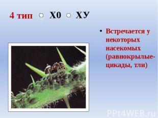 4 тип Встречается у некоторых насекомых (равнокрылые- цикады, тли)