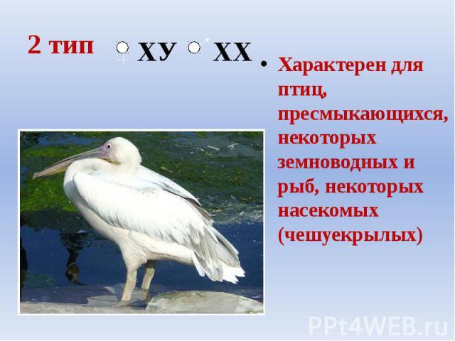 2 тип Характерен для птиц, пресмыкающихся, некоторых земноводных и рыб, некоторых насекомых (чешуекрылых)