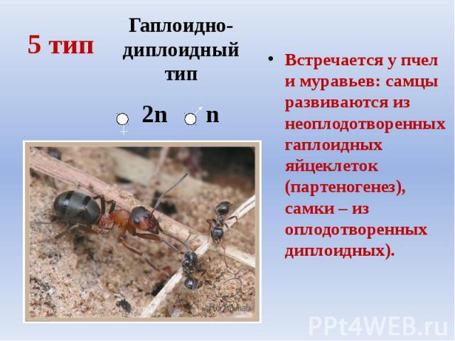 5 тип Встречается у пчел и муравьев: самцы развиваются из неоплодотворенных гаплоидных яйцеклеток (партеногенез), самки – из оплодотворенных диплоидных).